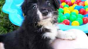 Border collie puppy 3 females Andergrove Mackay City Preview