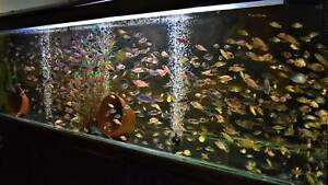 ½ Price Sale Mixed Lot Fry African Cichlids Unsexed Starter Pack
