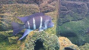 Male Frontosa- African Cichlid Belair Mitcham Area Preview