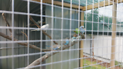 budgies assorted pieds Unley Unley Area Preview