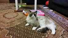 Rag doll cat desexed. 2 years old. Mr Cool Mount Druitt Blacktown Area Preview