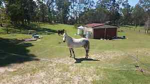 Dapple Grey Welsh Gelding Caboolture Caboolture Area Preview