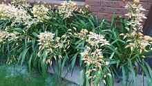Yellow Cymbidium Orchid Seddon Maribyrnong Area Preview