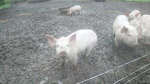 Piglets for sale Colac-Otway Area Preview