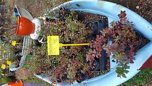 blueberry plants.... $12 Elanora Heights Pittwater Area Preview