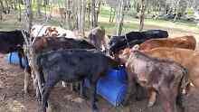 11 Beef x steers Thoona Benalla Area Preview