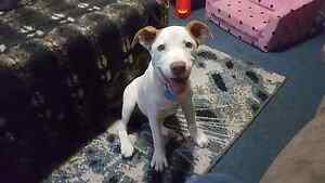 Looking for a home for my puppy Redland Bay Redland Area Preview