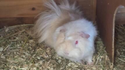 Male sheba guinea pig