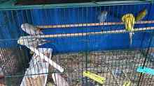 3 x grey baby budgies forsale $ 15 each beautiful healthy Labrador Gold Coast City Preview