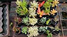 SUCCULENTS AND CACTI Bullsbrook Swan Area Preview