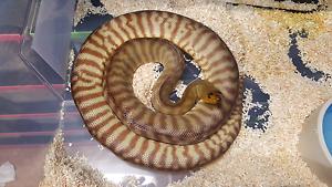 Carpet pythons Munno Para West Playford Area Preview