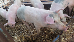 Young pigs ( Female ) Toodyay Toodyay Area Preview