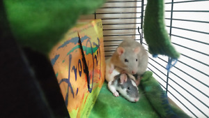 Two young-adult female rats for rehoming ASAP - cage included