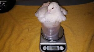 Jumbo jap quail s 2 to 3 weeks old 8 for $50