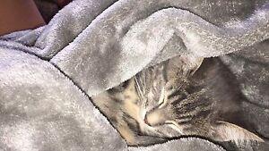 lost grey tabby kitten