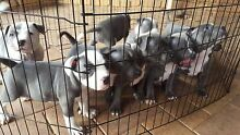 pure bred blue english staffy puppies with papers for sale! Caroline Springs Melton Area Preview