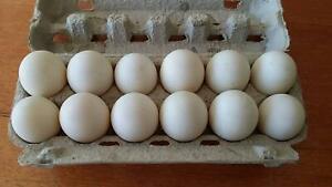 Duck Eggs $12 for one dozen | Livestock | Gumtree