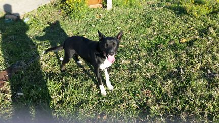 Border collie free to good home Newcastle 2300 Newcastle Area Preview