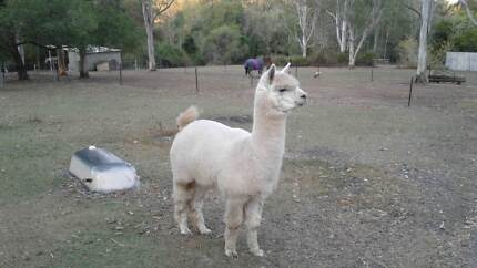 Small herd of alpacas for sale