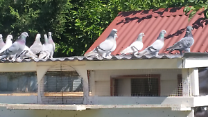 Lots of pigeons for sale Roxburgh Park Hume Area Preview