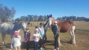 Lease Clydesdale gelding Pinjarra Murray Area Preview