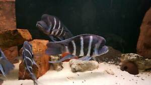 Two Frontosa Moba Males And Tank Set Up For Sale Fish Gumtree