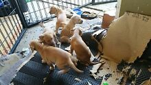 AMERICAN STAFFY PUPPIES Glenfield Campbelltown Area Preview