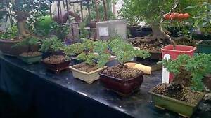 BONSAI -  The Perfect Gift for all. Morley Bayswater Area Preview