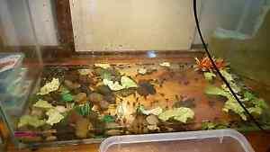 Various tadpoles Elizabeth Downs Playford Area Preview