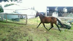 2 yo TB filly Garfield North Cardinia Area Preview