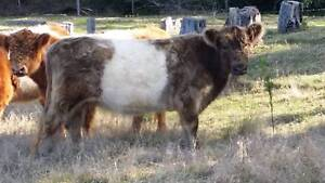 Miniature Dun & White Belted Galloway Cow Ravensbourne Toowoomba Surrounds Preview