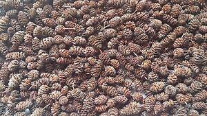 50 Erlenzapfen *TOP Qualität* aus dem Pfälzer Wald, Garnelen Krebse Aquarium