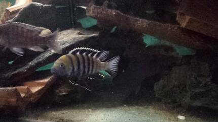 F.S. Male Cynotilapia afra cobue; African Cichlid fish fry
