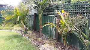 2 Palm trees for sale Carrum Downs Frankston Area Preview