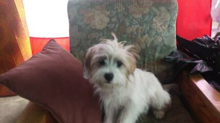 1 puppy for sale 5- 6months old Swansea Lake Macquarie Area Preview