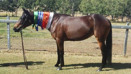 ASH MARE: EMUGULLY TANDORA-HSH 198595 Gatton Lockyer Valley Preview