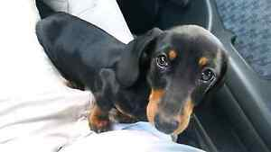 Black and tan mini dachshund Adelaide CBD Adelaide City Preview