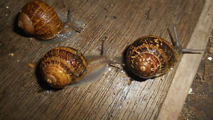 Three (3) Live Large  Land Snails Hand Raised Pet... educational, fun !