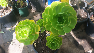 Succulent for sale Chigwell Glenorchy Area Preview