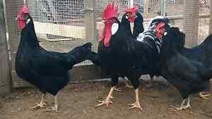 Black Leghorn Bantam size Richmond Hawkesbury Area Preview