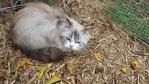 Free Female Ragdoll Desexed Clarence Town Dungog Area Preview
