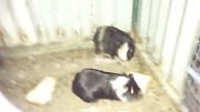 Guinea pigs Bridgetown Bridgetown Area Preview