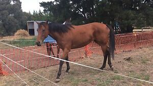 Wanted : Horse trainer / breaker, re-educating tb rescue exracehorse Greenvale Hume Area Preview