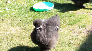 Free. Black Silkie Cockerel.. Howrah Clarence Area Preview