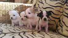 Chihuahua puppies South Penrith Penrith Area Preview