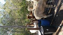 BEAUTIFUL ALPACAS Kensington Grove Lockyer Valley Preview