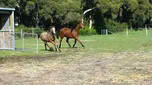 Stock Horse Mare & Buck Skin Stock Horse Filly (Sold) Bunbury Bunbury Area Preview