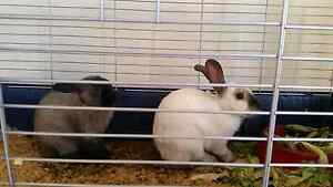 2 Cute and Cuddly Rabbits Bedford Bayswater Area Preview