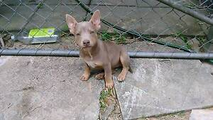 Silver Kelpie Pups for sale Cedar Grove Logan Area Preview