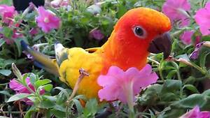 Sun Conure Lost at Woody Point Woody Point Redcliffe Area Preview